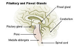 250px-Illu_pituitary_pineal_glands